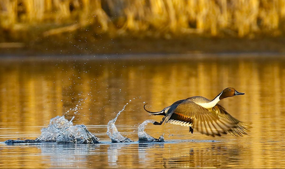 North Dakota has many duck species throughout the migratory season.